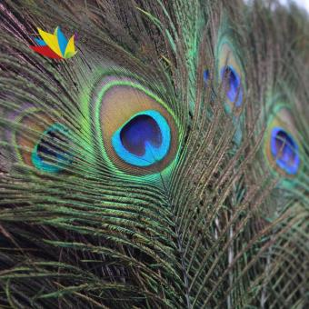 Harga 10pcs Natural Real Peacock Tail Eye Feathers for Decoration13 Inches US2437 (Color: Peacock blue) (…) - intl