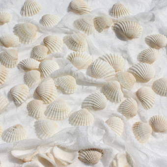 Small shells white natural white about shell conch